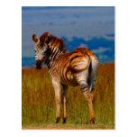 Zebra on the mountain postcard