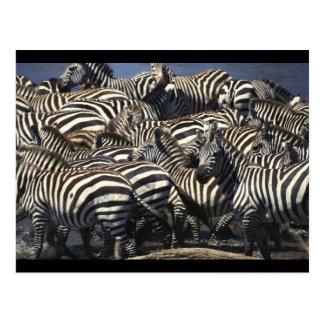 Zebra Pack Postcard