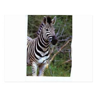 Zebra paper products postcard