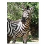 Zebra Photo Design Postcard