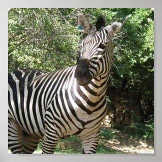 Zebra Photo Design Print