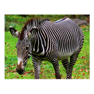 Zebra Photo Postcard