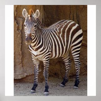 Zebra Picture Poster