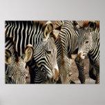 Zebra Posters