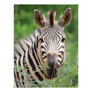 Zebra profile flyer