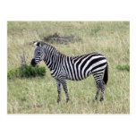 zebra proud post cards