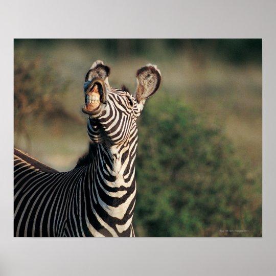 Zebra showing teeth (Equus burchelli) Poster