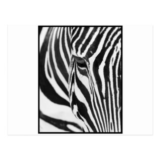 Zebra Stare Post Cards