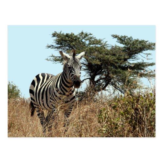 zebra stare postcard