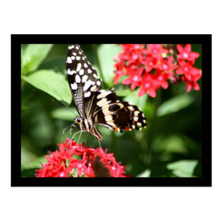 Zebra Striped Butterfly Postcard
