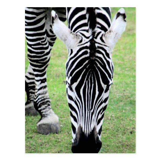 Zebra Stripes Postcard