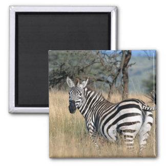 Zebra Tail Swish 2 Inch Square Magnet