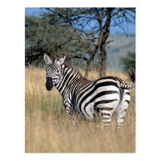Zebra Tail Swish Postcard