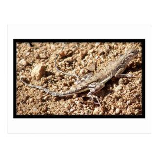 Zebra-Tailed Lizard Post Card