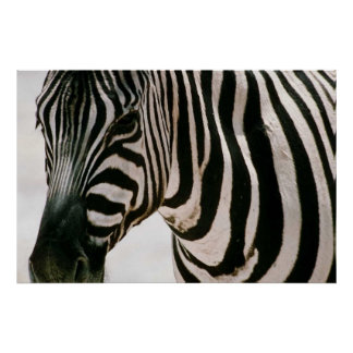 Zebra up close & striped poster