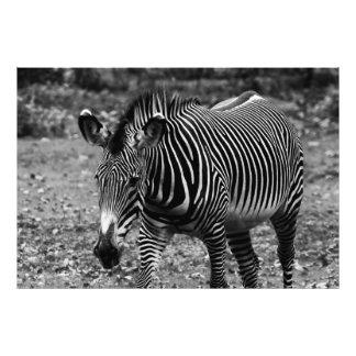 Zebra Wildlife Animal Photo