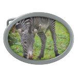 Zebra Wildlife Photo Oval Belt Buckle