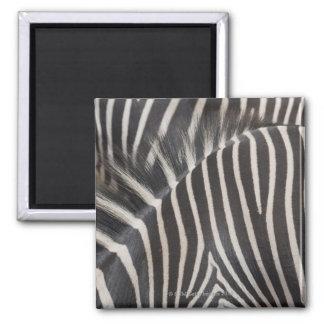 Zebras 2 Inch Square Magnet