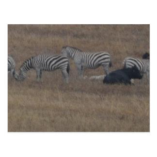 zebras & cows in field postcard