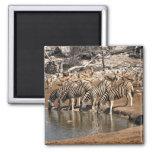 Zebras drinking magnets