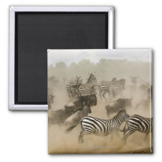 zebras (Equus burchelli) and wildebeest Magnet
