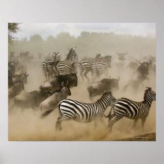 zebras (Equus burchelli) and wildebeest Poster