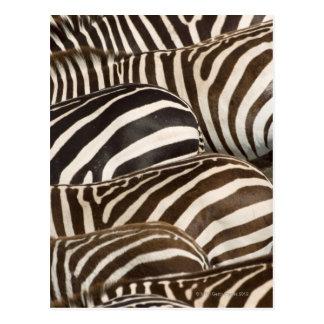 Zebras' (Equus quagga) stripes, Masai Mara Post Cards