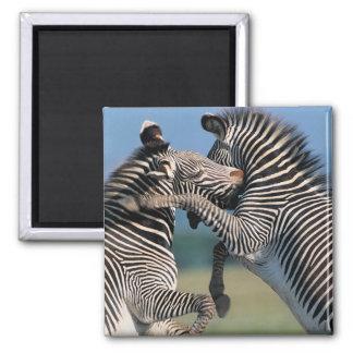 Zebras fighting (Equus burchelli) 2 Inch Square Magnet