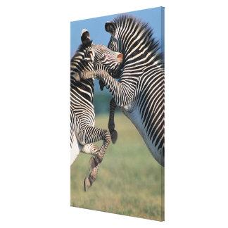 Zebras fighting (Equus burchelli) Gallery Wrap Canvas