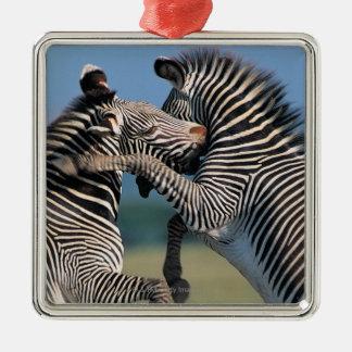Zebras fighting (Equus burchelli) Christmas Ornaments