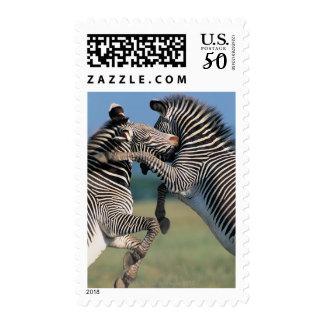 Zebras fighting (Equus burchelli) Postage