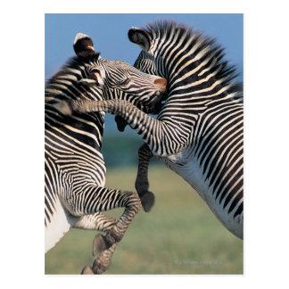 Zebras fighting (Equus burchelli) Postcard