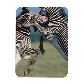 Zebras fighting (Equus burchelli) Rectangle Magnets