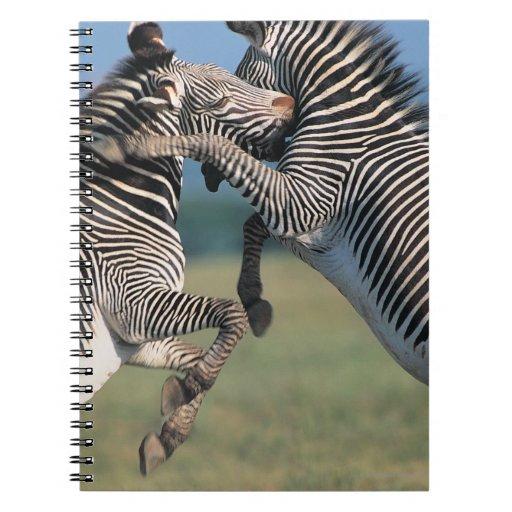 Zebras fighting (Equus burchelli) Spiral Notebooks