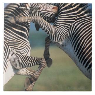 Zebras fighting (Equus burchelli) Ceramic Tiles