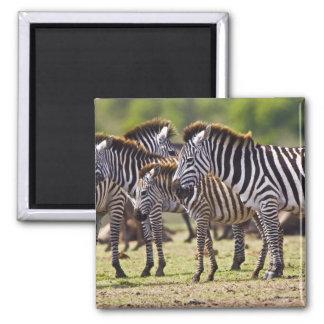 Zebras herding in the fields of the Maasai Mara Magnet