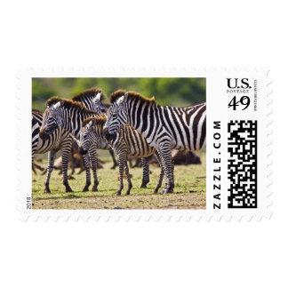 Zebras herding in the fields of the Maasai Mara Postage Stamp