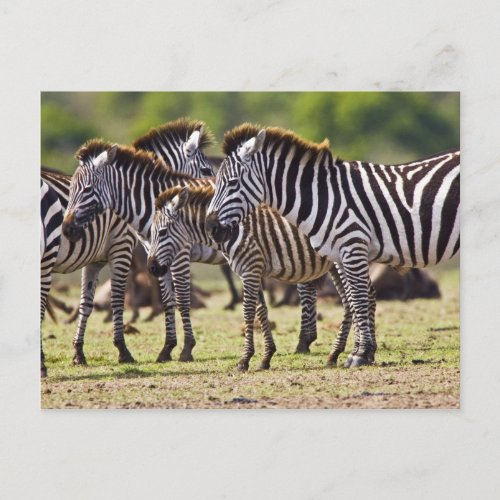 Zebras herding in the fields of the Maasai Mara Postcard