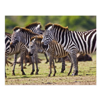 Zebras herding in the fields of the Maasai Mara Post Cards