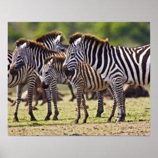 Zebras herding in the fields of the Maasai Mara Poster