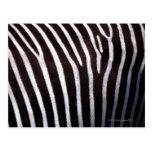 zebra's hide postcard
