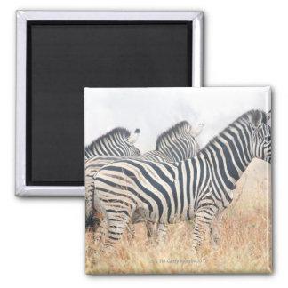 Zebras in early morning dust, Kruger National 2 2 Inch Square Magnet