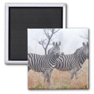 Zebras in early morning dust, Kruger National 2 Inch Square Magnet