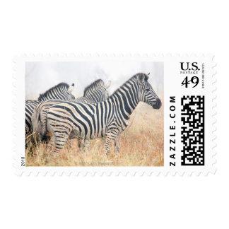 Zebras in early morning dust, Kruger National 2 Postage