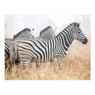 Zebras in early morning dust, Kruger National 2 Postcard