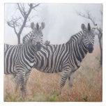 Zebras in early morning dust, Kruger National Large Square Tile