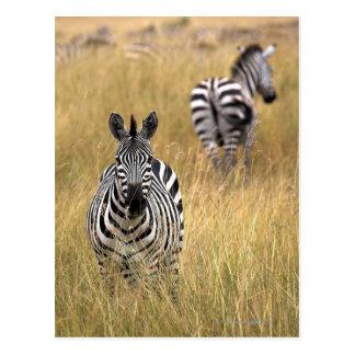 Zebras in tall grass postcard