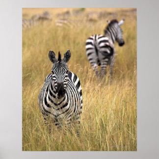 Zebras in tall grass print