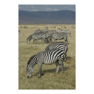 Zebras in Tanzania Poster
