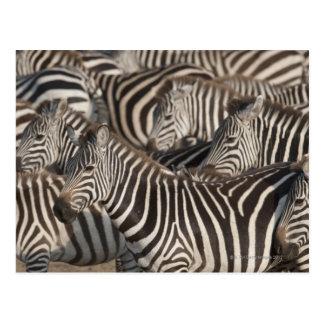 Zebras, Kenya, Africa Postcard